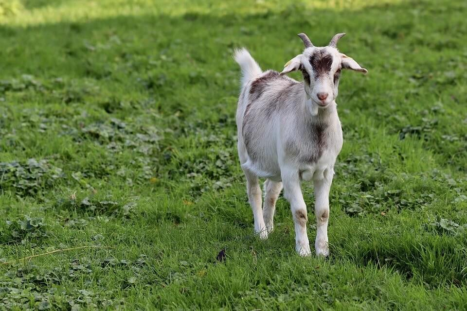How Long Do Goats Live? – Lifespan of a Goat